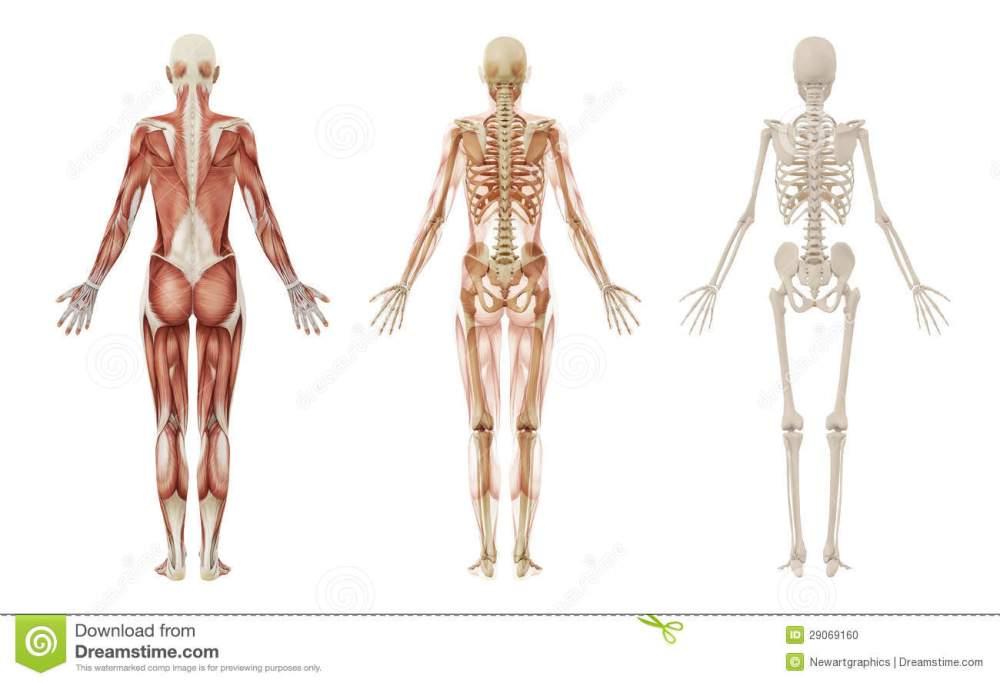 female-human-muscles-skeleton-29069160