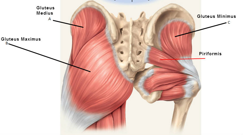 gluteals-and-piriformis